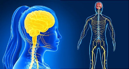 Your Nervous System Controls Your Whole Body and Your Health!